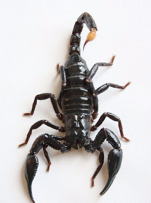 Scorpion Stung Man In United Airline Flight